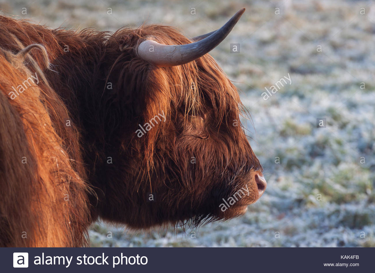 Portrait of a highland cattle with long horns on a snowy field in winter. - Stock Image
