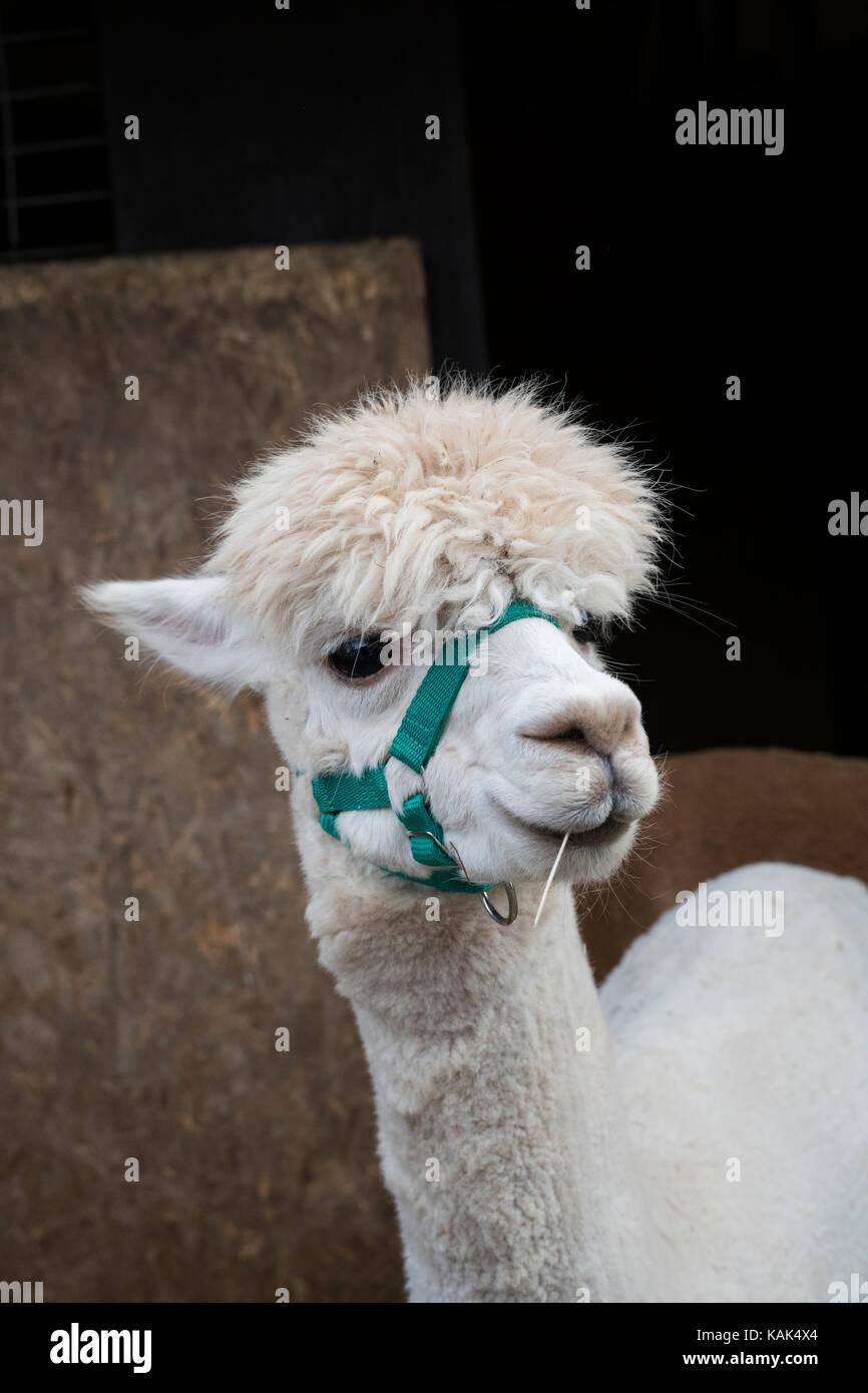 Vicugna pacos. Alpaca in a pen at Malvern autumn show, Worcestershire, UK - Stock Image