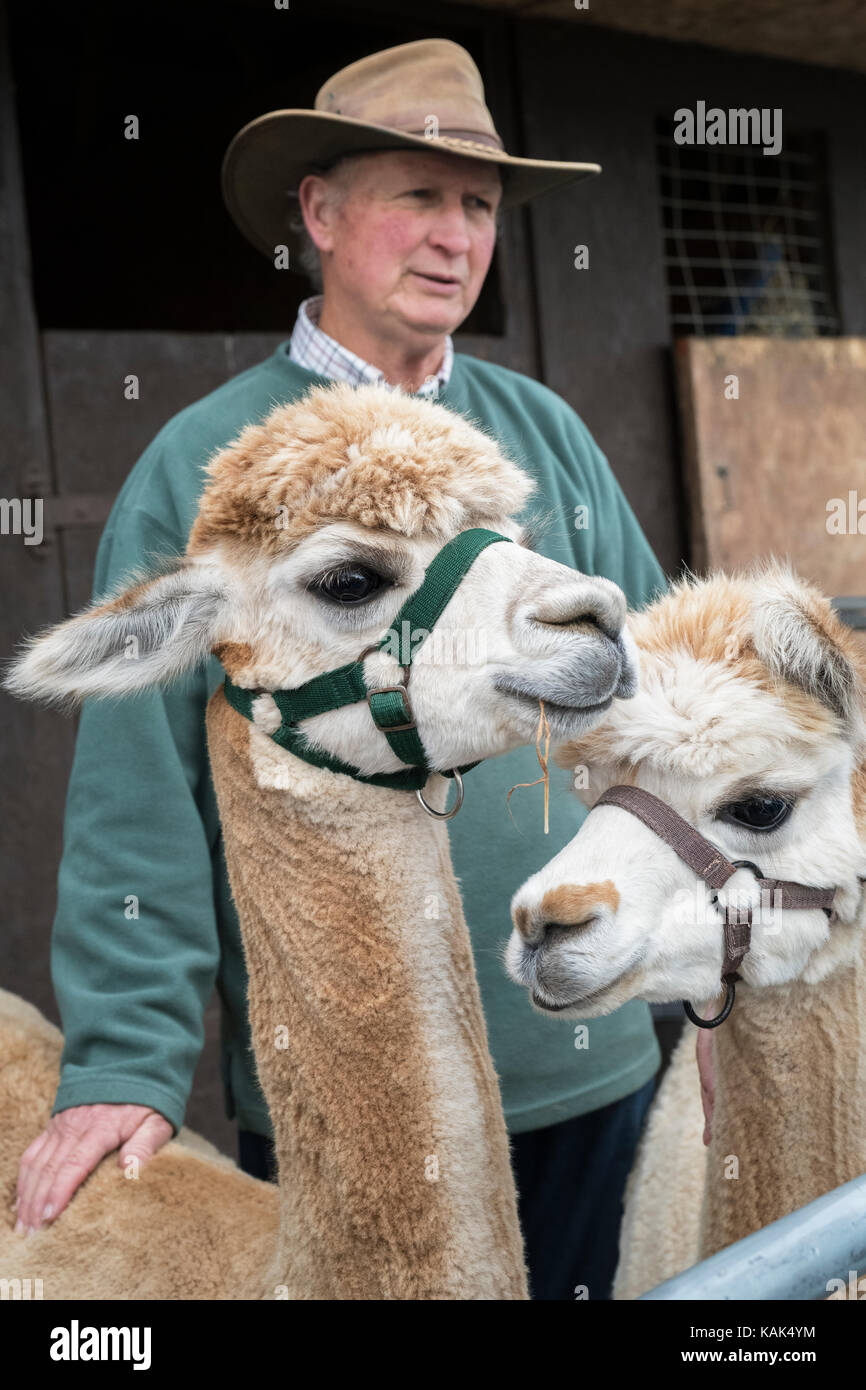 Vicugna pacos. Alpacas and their owner in a pen at Malvern autumn show, Worcestershire, UK - Stock Image