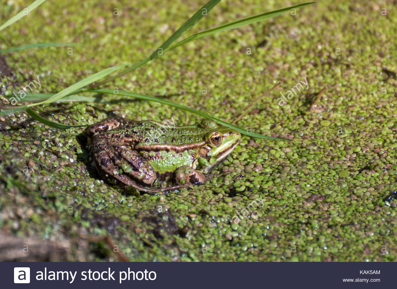 Green water frog sits camouflaged in duckweed. Nature reserve Brenner Moor. - Stock Image