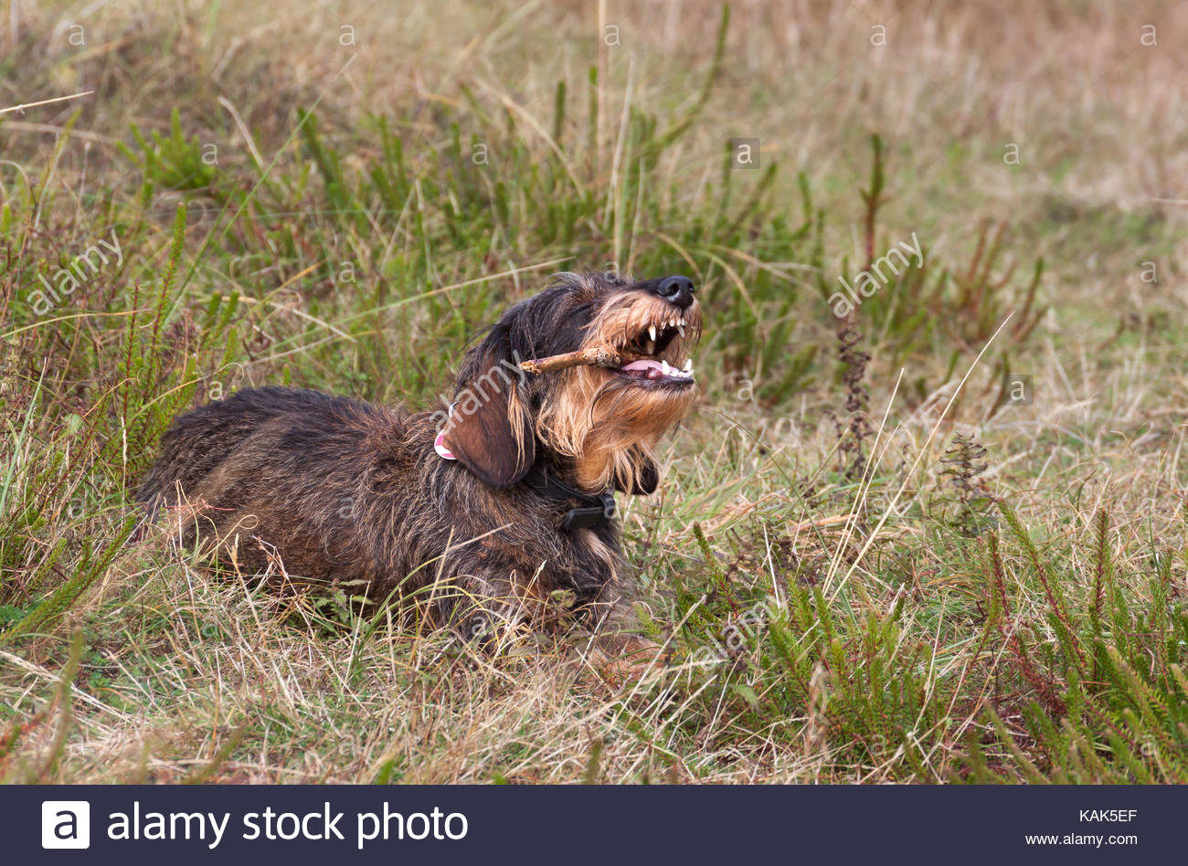 Cute, shaggy dachshund with long fur chews on a wooden stick. - Stock Image