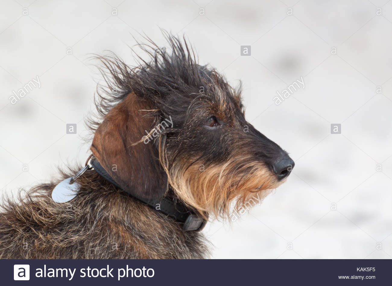 Cute shaggy dachshund sitting on the beach. - Stock Image