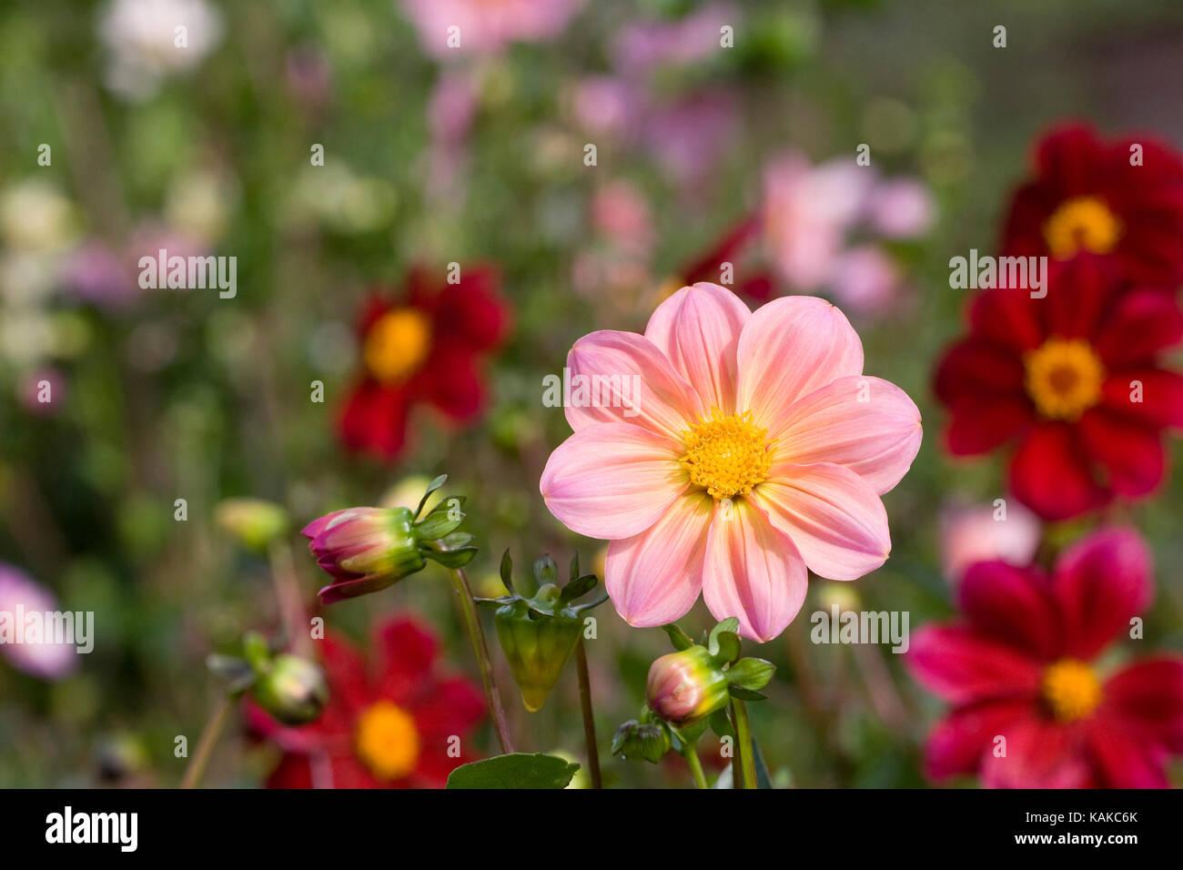 Dahlia 'Rachel de Thame' flowers. - Stock Image