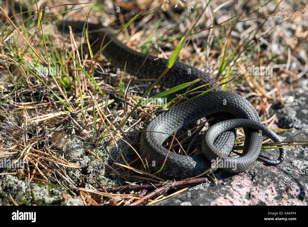Grass Snake Leaving After Sighting The Photographer, Kirkkonummi  Archipelago, Finland, Europe, EU