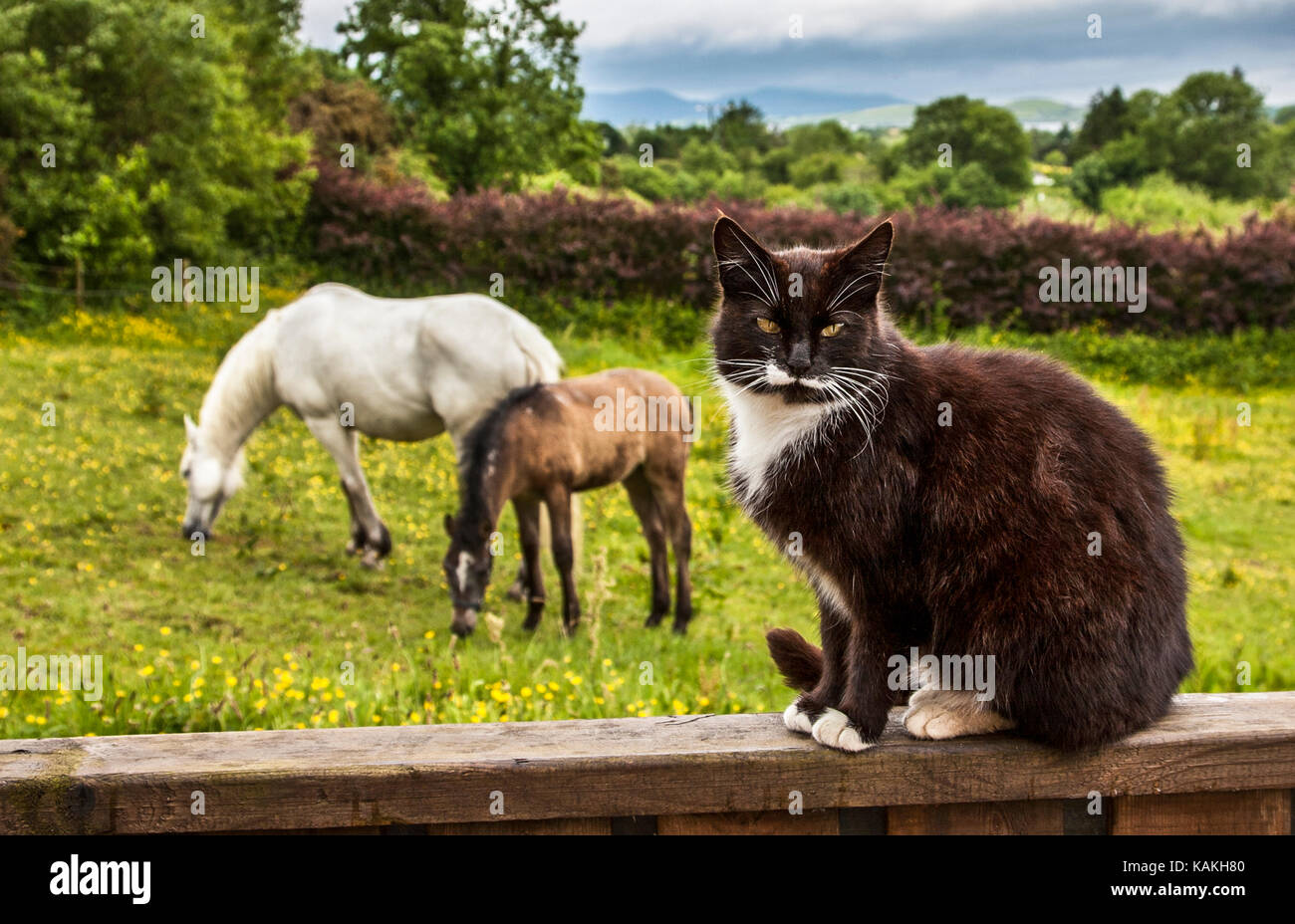 A domestic black and white  cat and white Kalamare horse with colt, Bantry, Ireland,  Europe - Stock Image