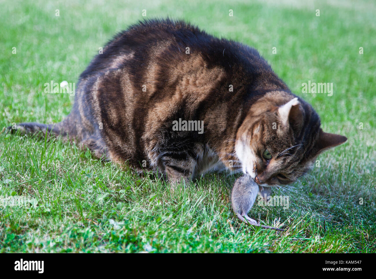 Katt och råtta / Cat and mouse - Stock Image