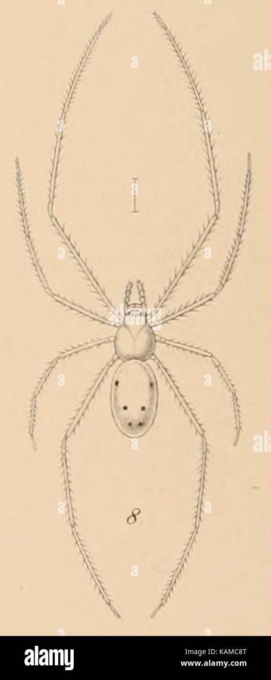 Theridion grallator Fauna Hawaiiensis - Stock Image