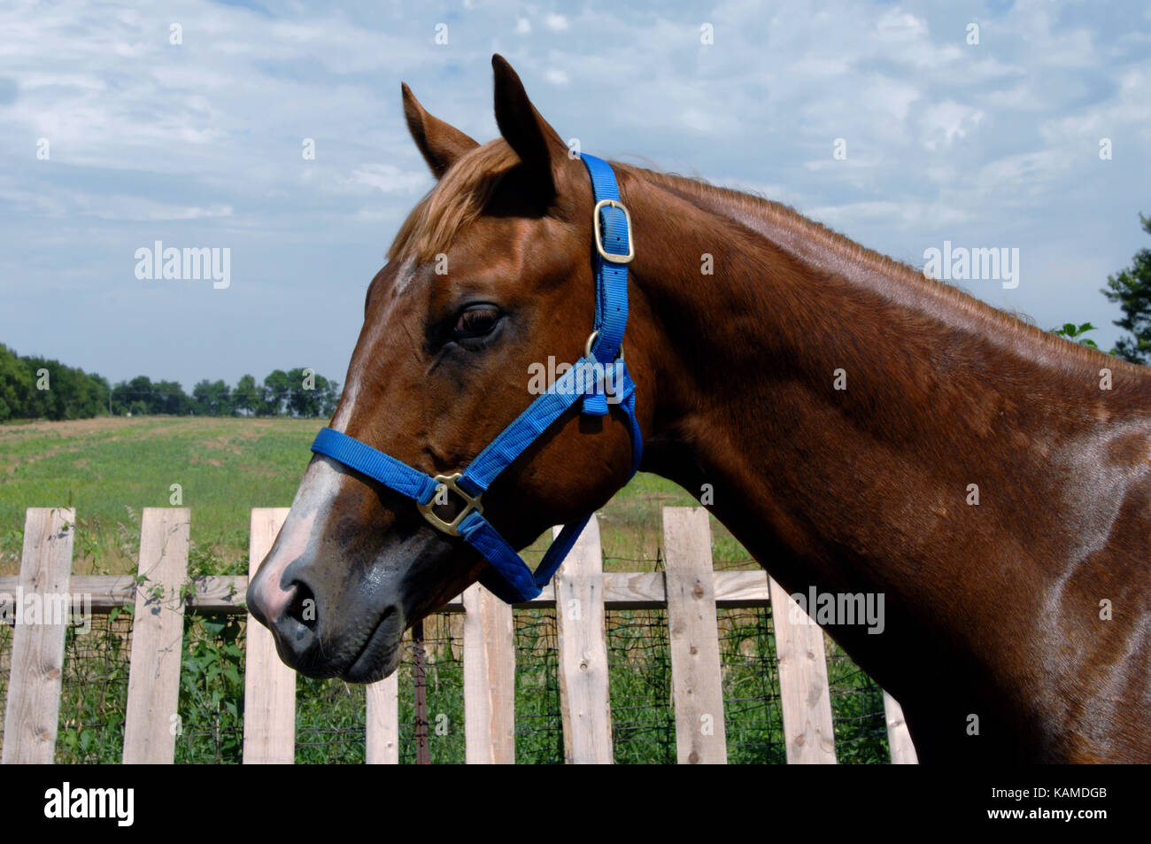Gelding, sorrel quarter horse stands in profile besides a wooden picket fence.  He is wet with sweat from work out. - Stock Image