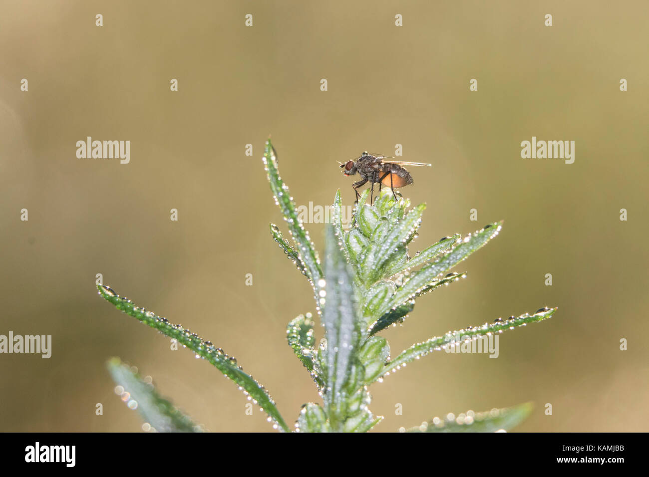 tachinid fly Stock Photo
