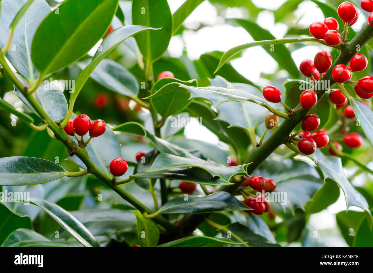 Holly Berries and Leaves on a Holly Plant (Ilex Aquifolium) - Stock Image
