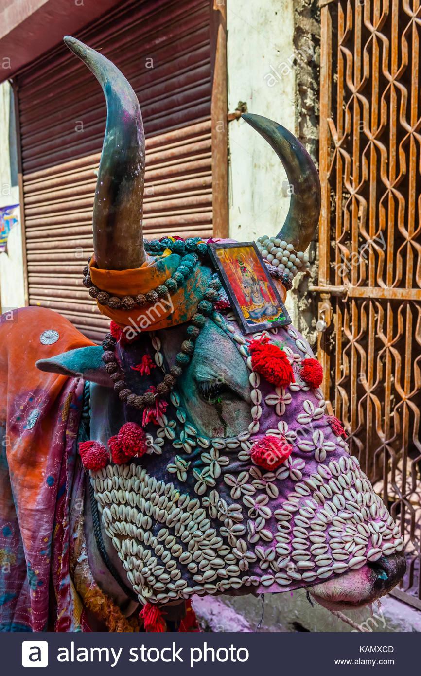 A costumed cow, Holi Festival celebration (Festival of Colors) outside the Banke Bihari Temple, Vrindavan, near - Stock Image