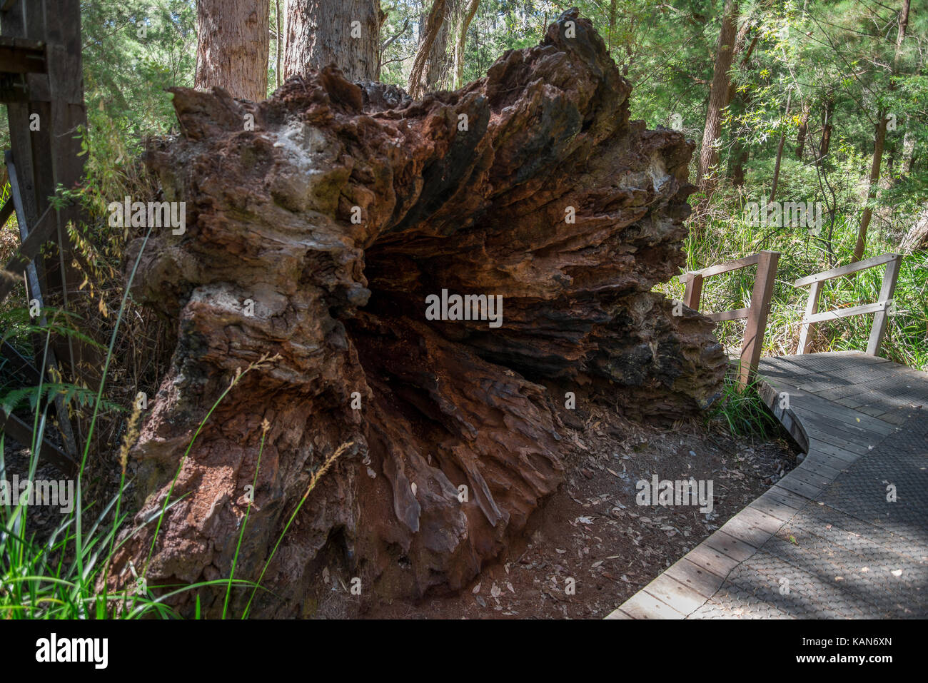 A large fallen tree in the Valley of the Ancients near Walpole and Denmark Stock Photo