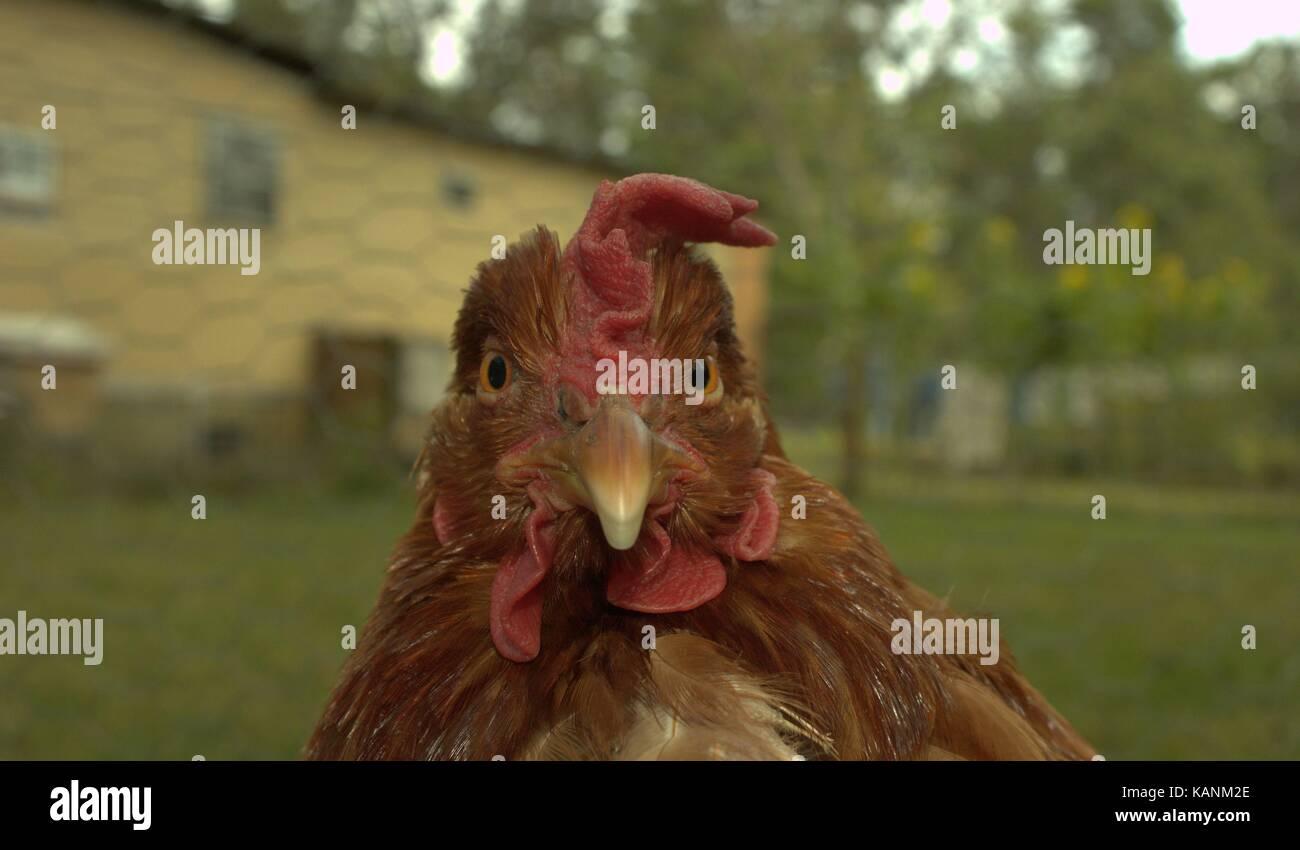 Senior Rhode Island Red Chicken Named Martha - Stock Image