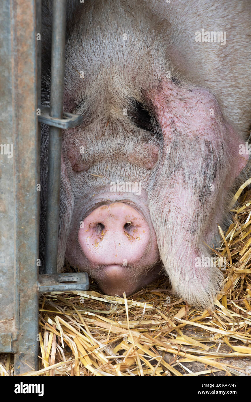 Sus scrofa domesticus. Pig sleeping in a temporary pen at Malvern autumn show, Worcestershire, UK - Stock Image