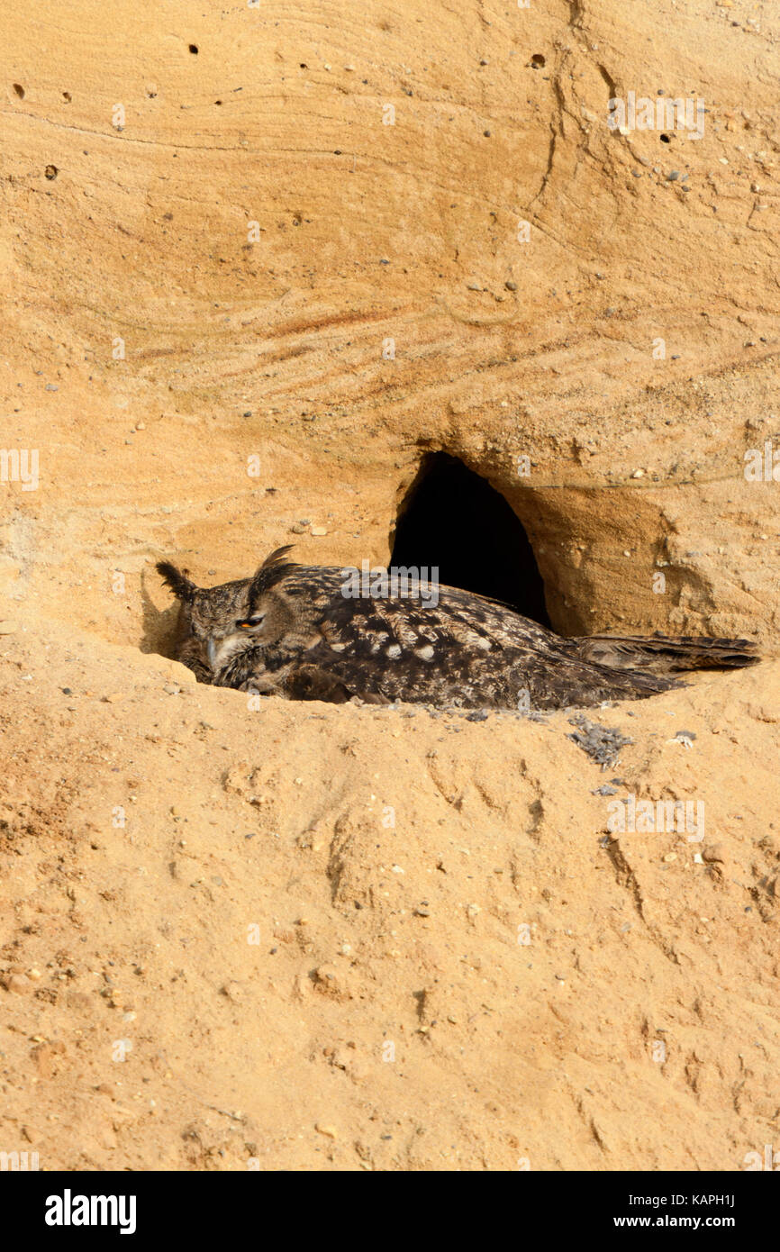 Eurasian Eagle Owl / Europaeischer Uhu ( Bubo bubo ), at breeding site, female adult gathering its chicks, in a - Stock Image
