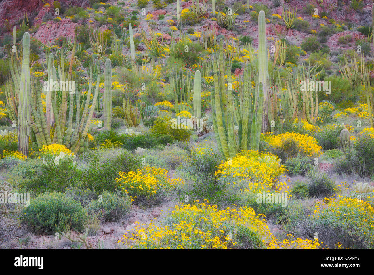 Spring bloom of brittle bush among the varieties of cacti in the Sonoran Desert and Arizona's Organ Pipe Cactus - Stock Image