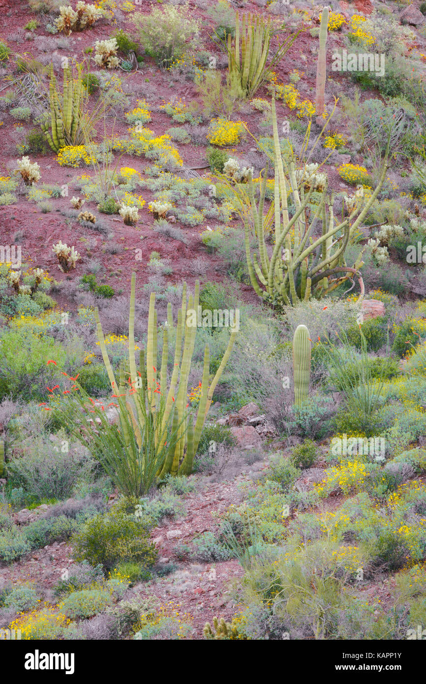 Spring blooms among the Sonoran Desert in  Arizona's Organ Pipe Cactus National Monument. - Stock Image
