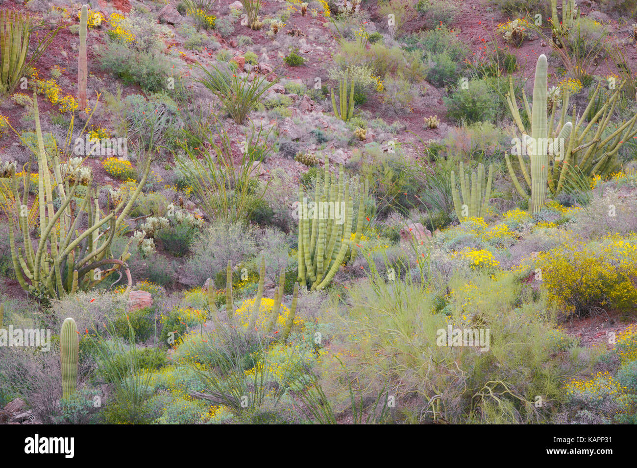 Spring bloom in Arizona's Organ Pipe Cactus National Monument. - Stock Image
