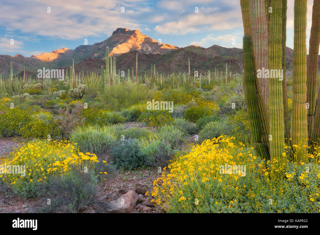 First light on Tillotson Peak with spring bloom of brittle bush in Arizona's Organ Pipe Cactus National Monument. - Stock Image