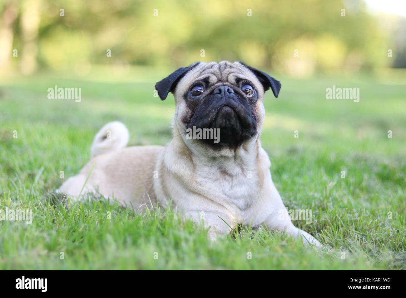 One year old fawn male Pug - Stock Image