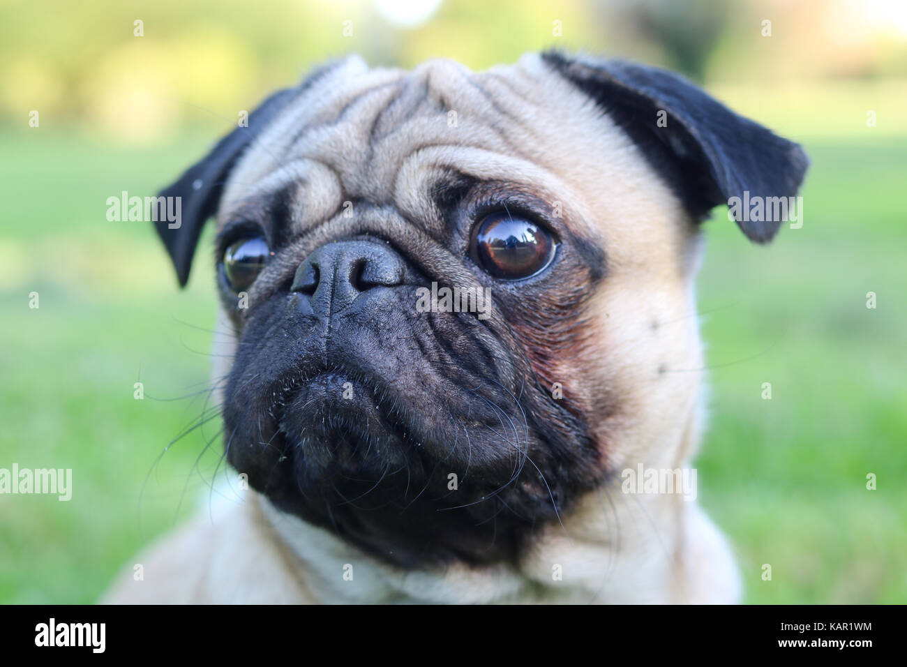 One year old fawn male Pug Stock Photo
