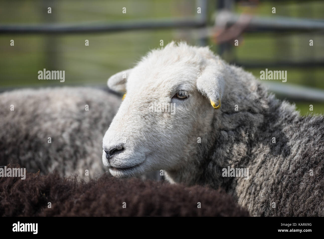 Herdwick sheep judging, Southern Agricultural Show, Isle of Man. - Stock Image