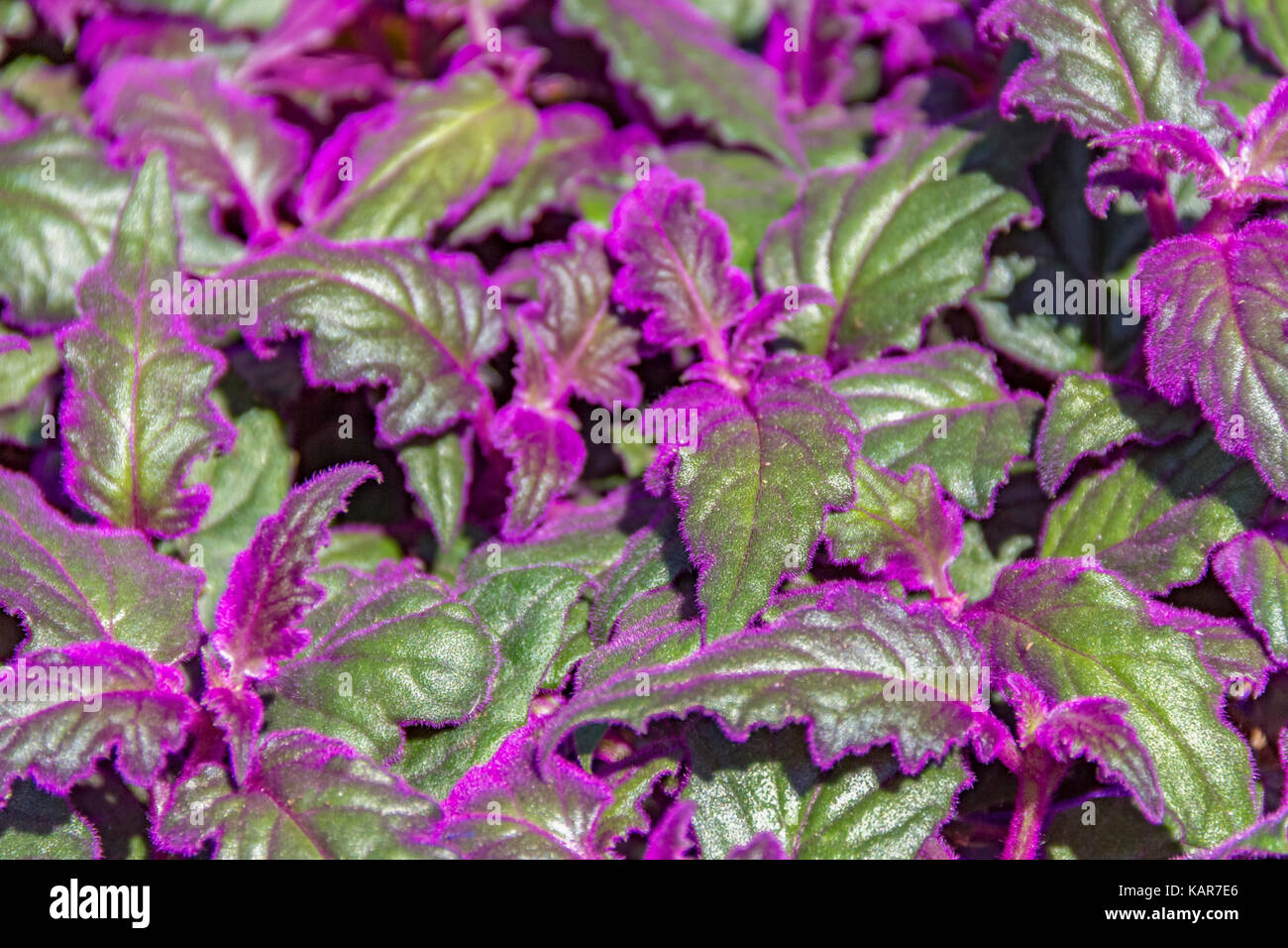 detail shot of some green Gynura leaves with violet fluff - Stock Image