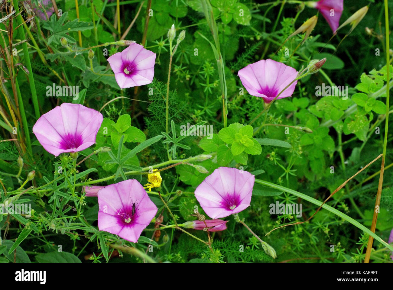 the wild flower Convolvolus althaeoides, the Mallow bindweed or Mallow-leaved bindweed, from the family Convolvulaceae, - Stock Image