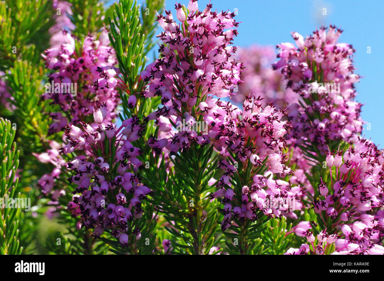 this is Erica multiflora, the Mediterranean Heath, native to the Mediterranean Basin, family Ericaceae - Stock Image