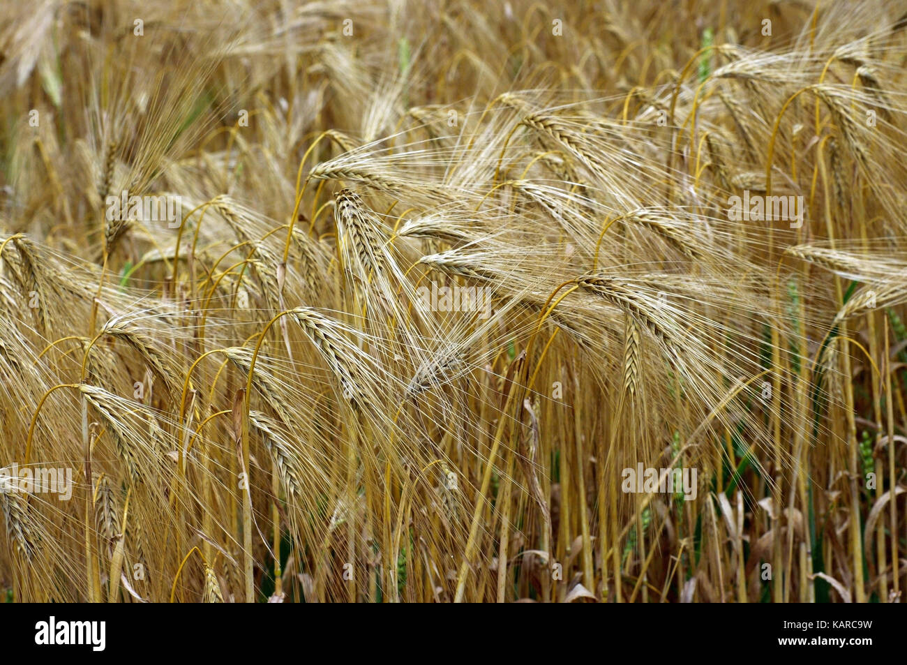 this is Hordeum vulgare, the Barley, member of the Poaceae - Stock Image