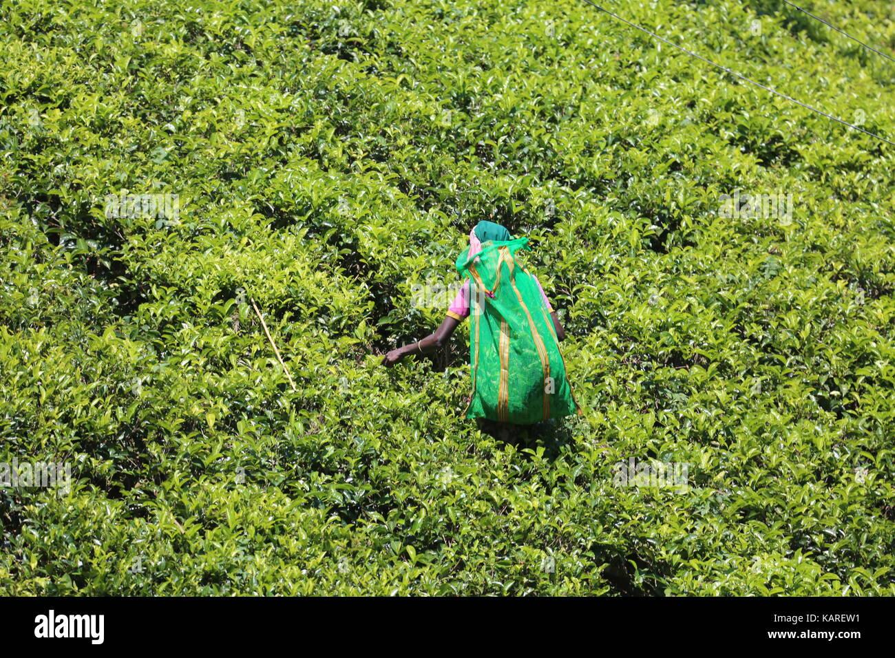Tea picker in the highlands of Sri Lanka ---Teepflückerin im Hochland von Sri Lanka Stock Photo