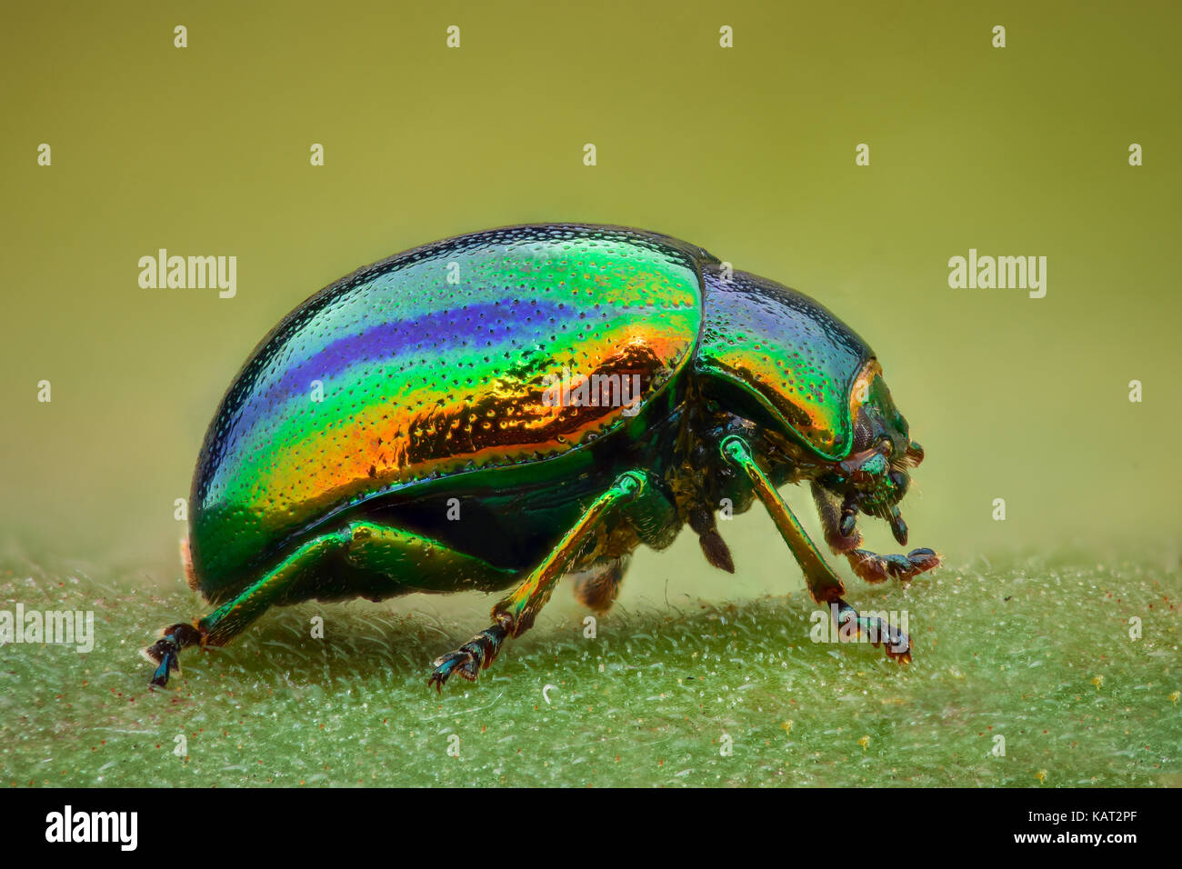 Extreme magnification - Green jewel beetle - Stock Image