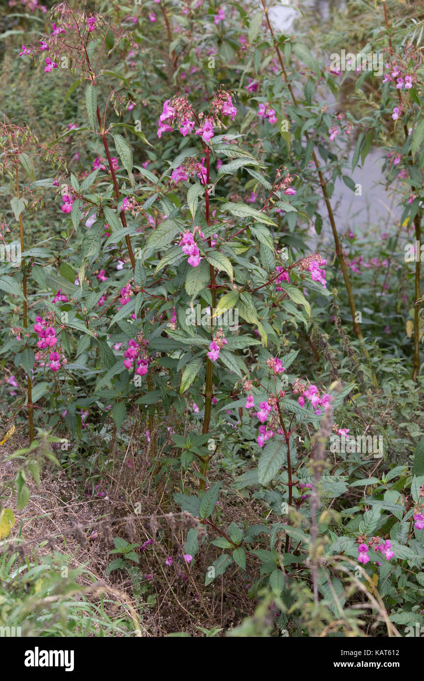 Himalayan balsam plants Impatiens glandulifera in flower invading banks of River Wye Hoarwithy UK - Stock Image