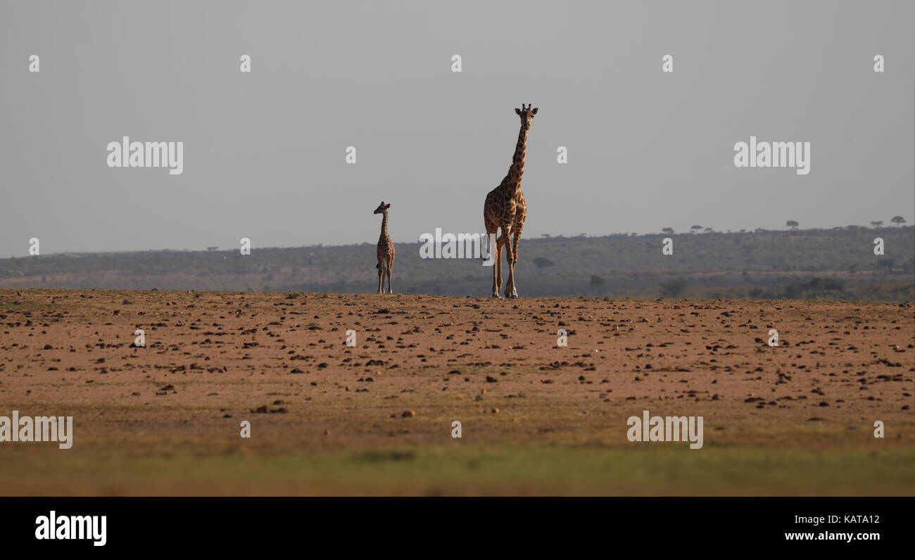 Mother and young Masai Giraffes - Masai Mara Reserve - Kenya - Stock Image