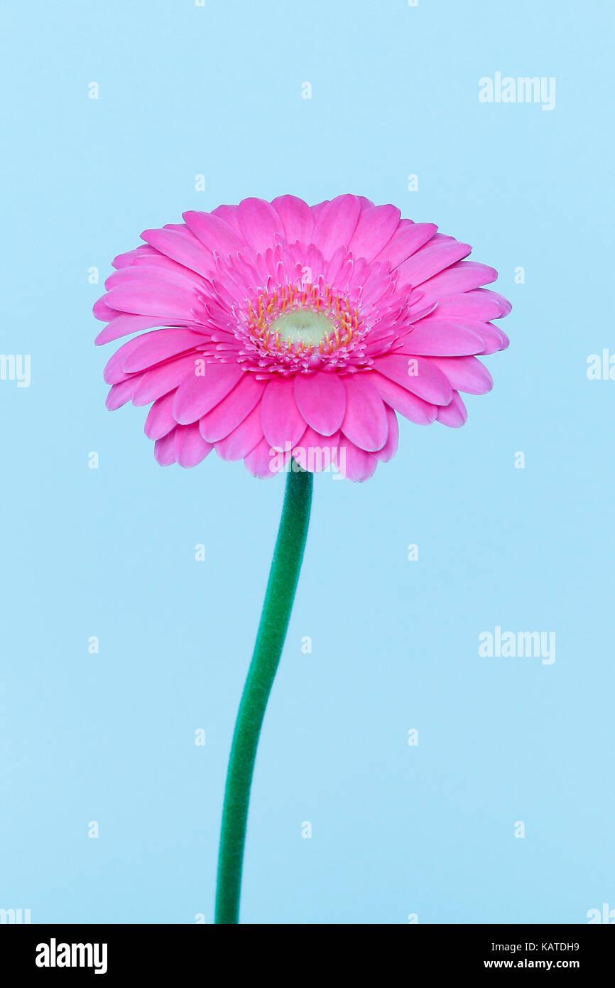 Flower head on stem of transvaal daisy. - Stock Image