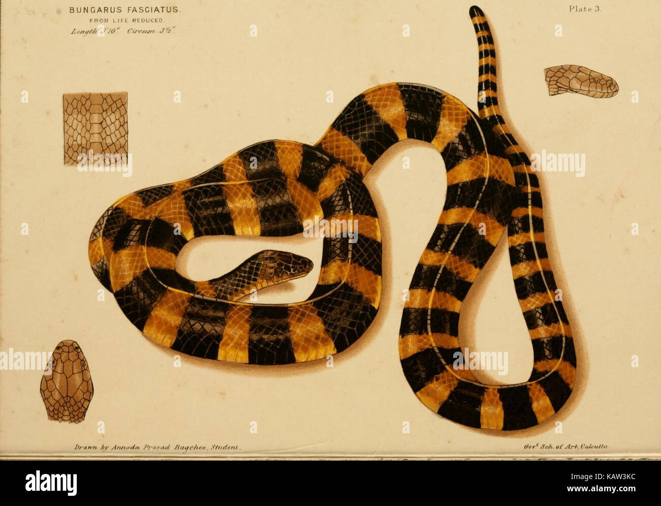 Snakes India Stock Photos & Snakes India Stock Images - Page 5 - Alamy