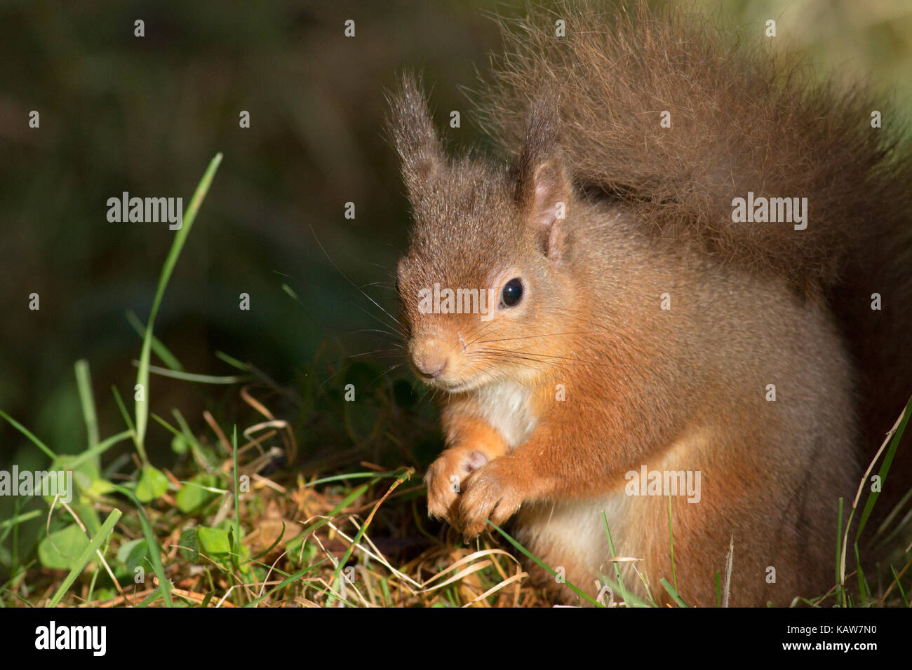 Red Squirrel (Sciurus vulgaris) in the forest, Highlands, Scotland, UK - Stock Image