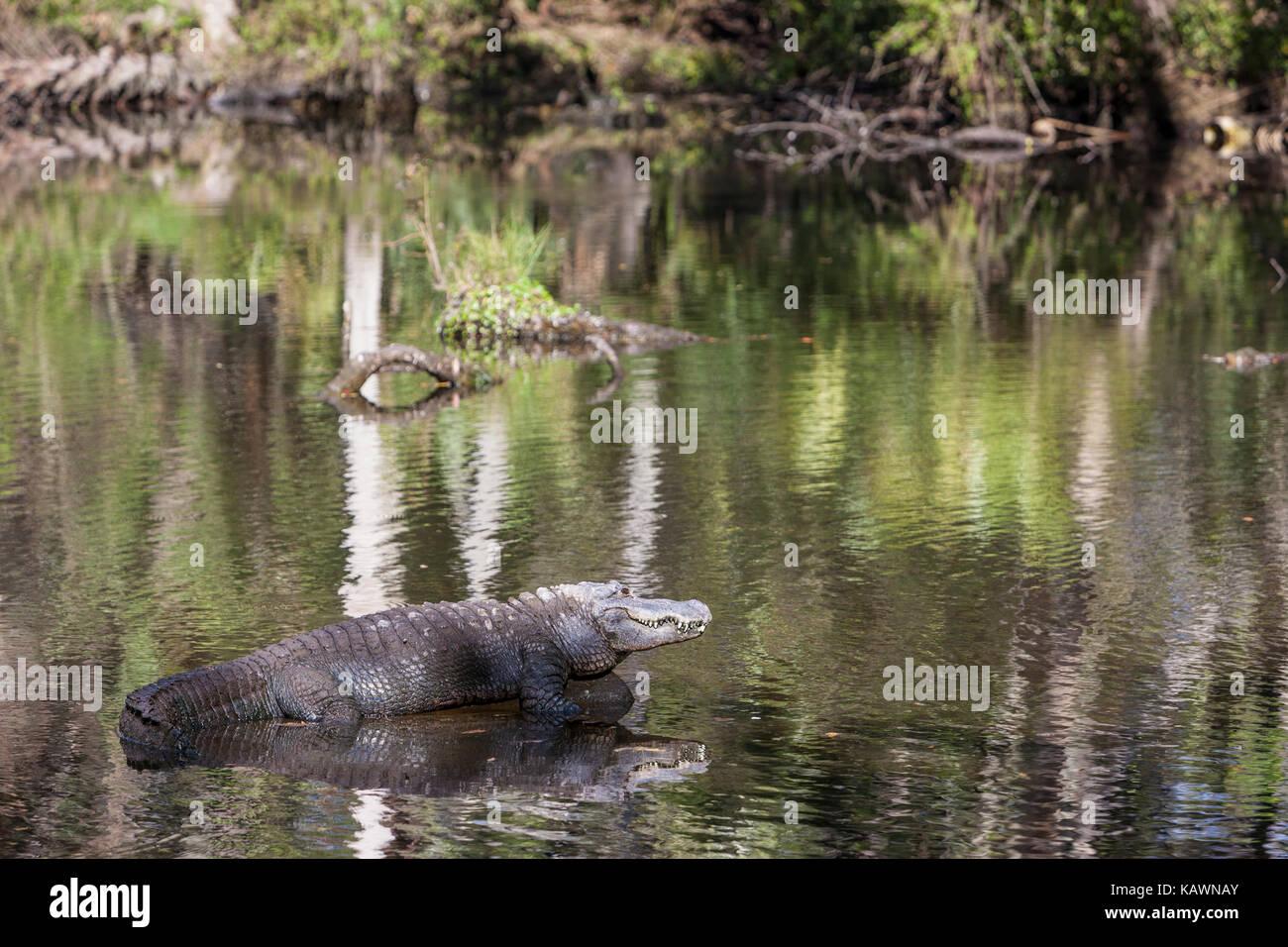 Alligator, Homosassa Springs State Park, Florida.  American Alligator. Stock Photo