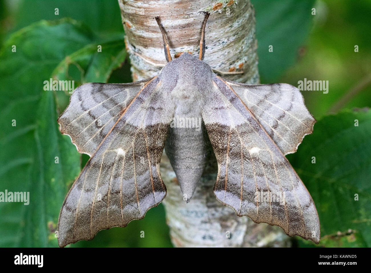 Close-Up Detail of a Poplar Hawk-Moth (Laothoe populi) Resting on the Trunk of a Silver Birch Tree. Bude, Cornwall, - Stock Image