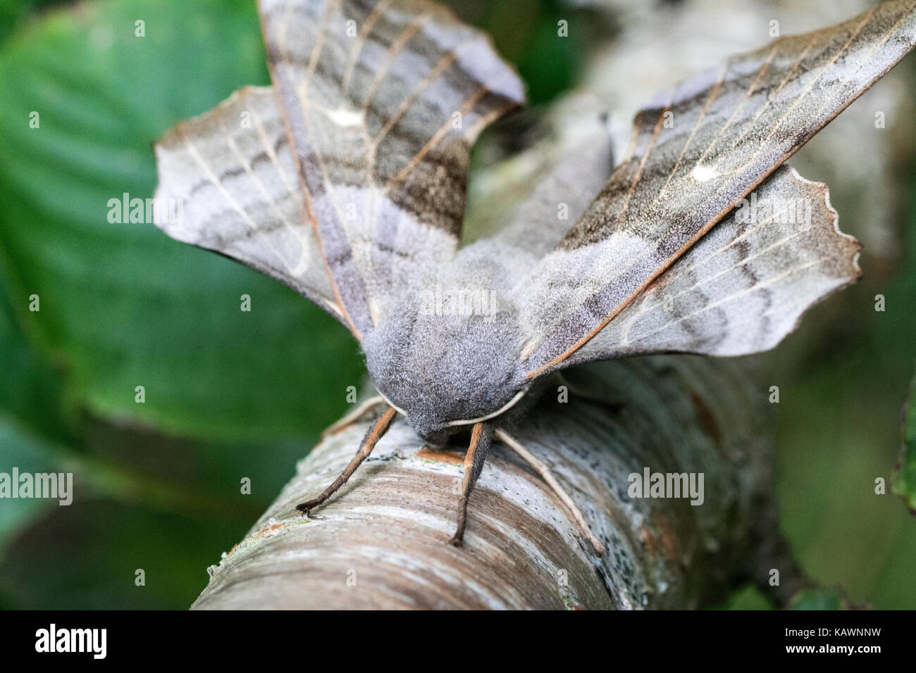 Head-on, Close-Up Detail of a Poplar Hawk-Moth (Laothoe populi) Resting on the Trunk of a Silver Birch Tree. Bude, - Stock Image