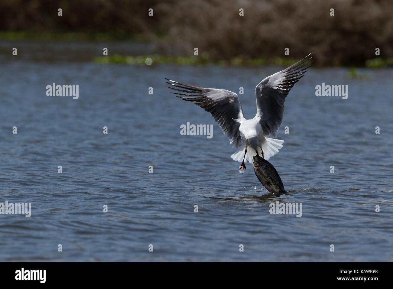 Gull (Laridae) attempts to pull large fish out of the water unsuccessfully at Lake Naivasha, Kenya - Stock Image