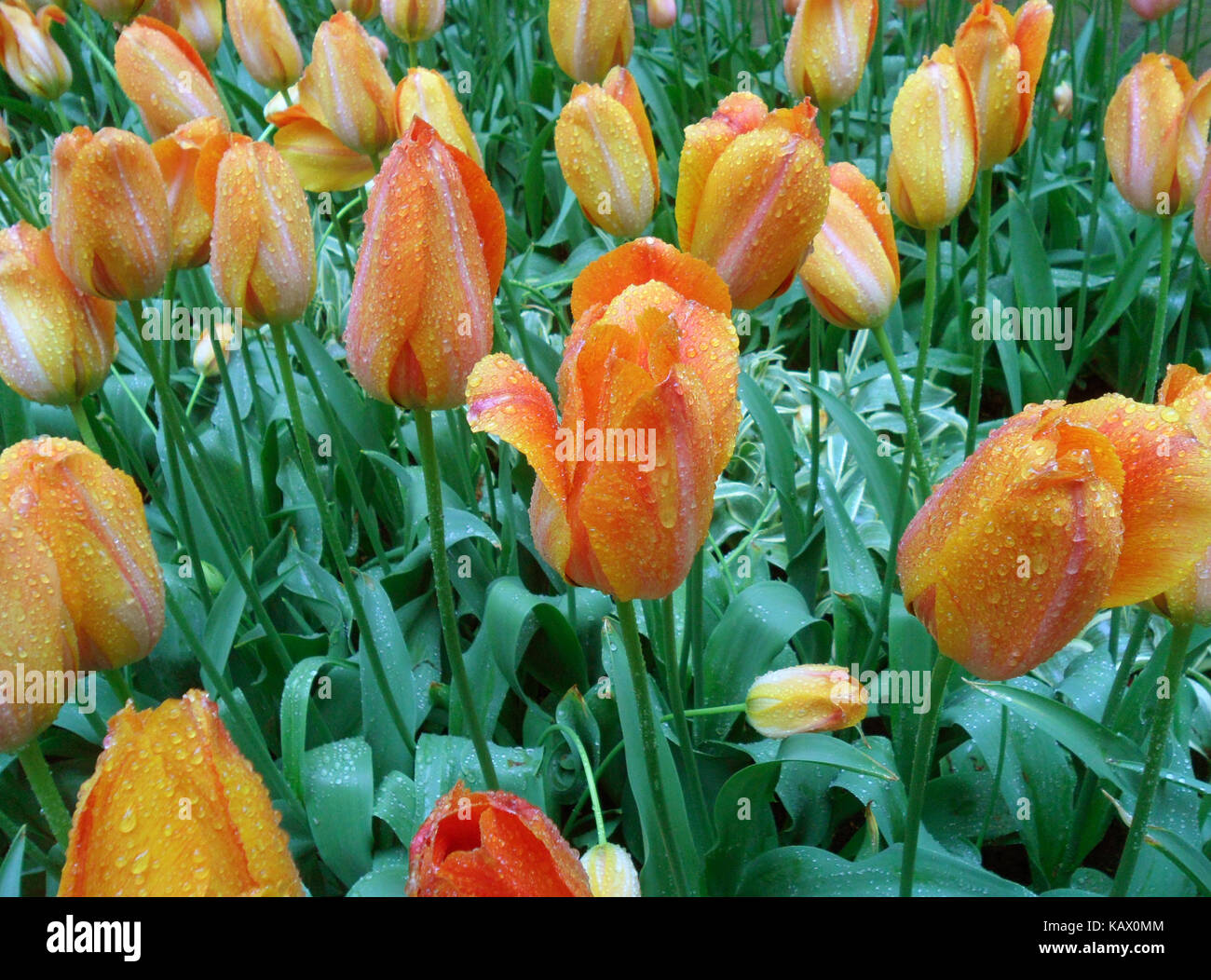 Blooming Orange and Yellow Two-Tone Color Tulip Flowers in the Spring Shower - Stock Image