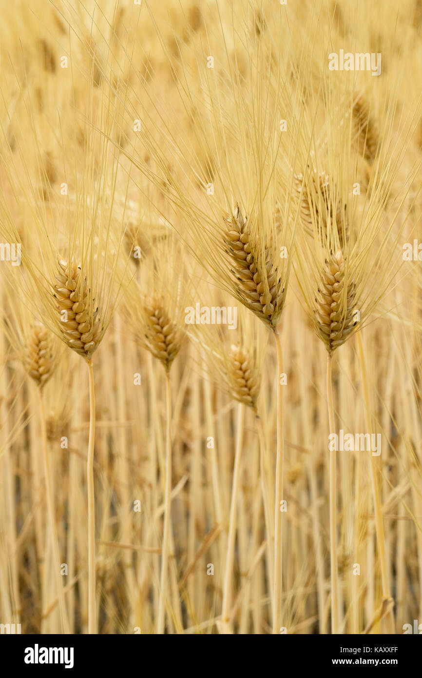 Rice field with young ears in Hotaka, Japan - Stock Image
