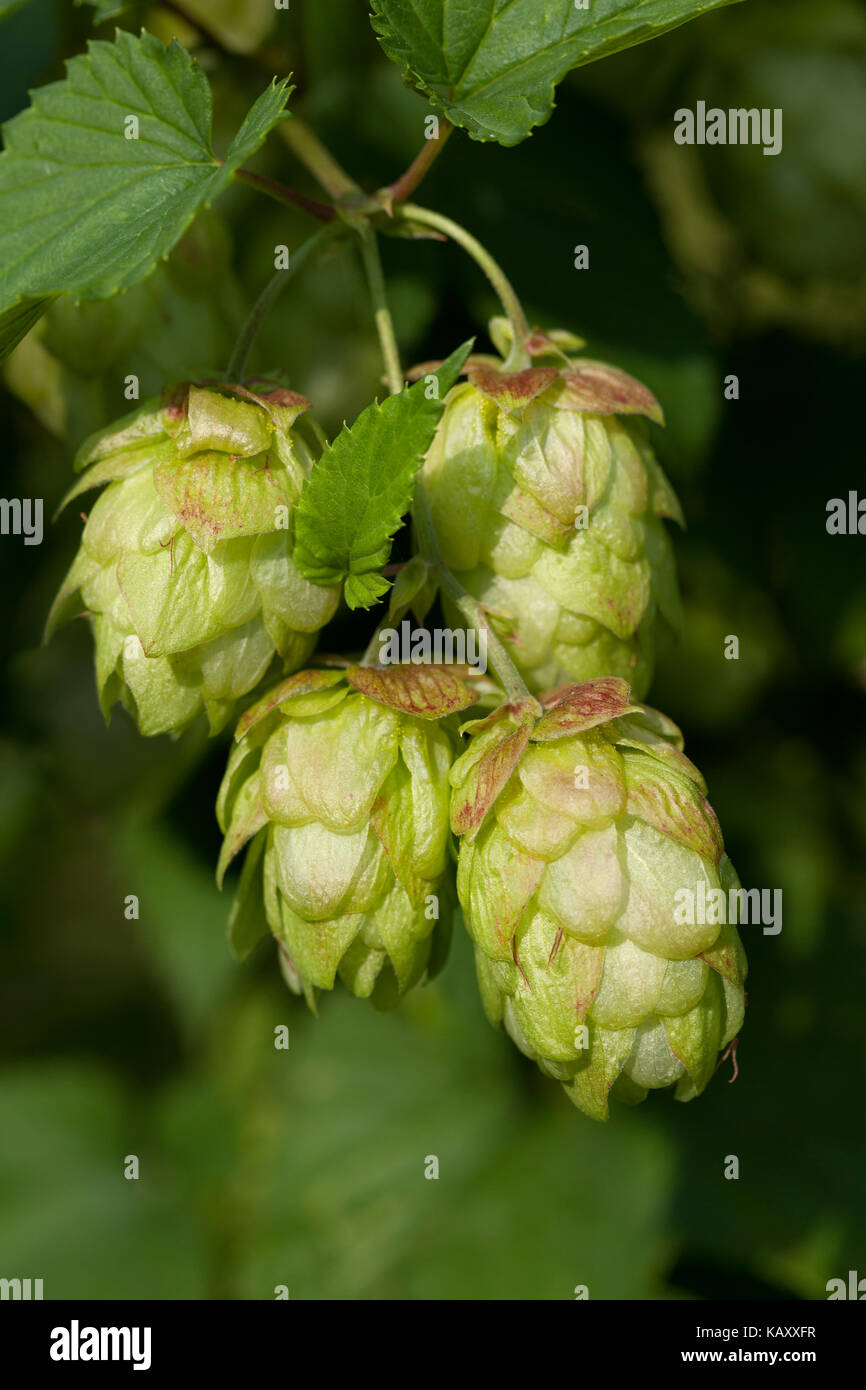 Twig of a hop plant close up - Stock Image