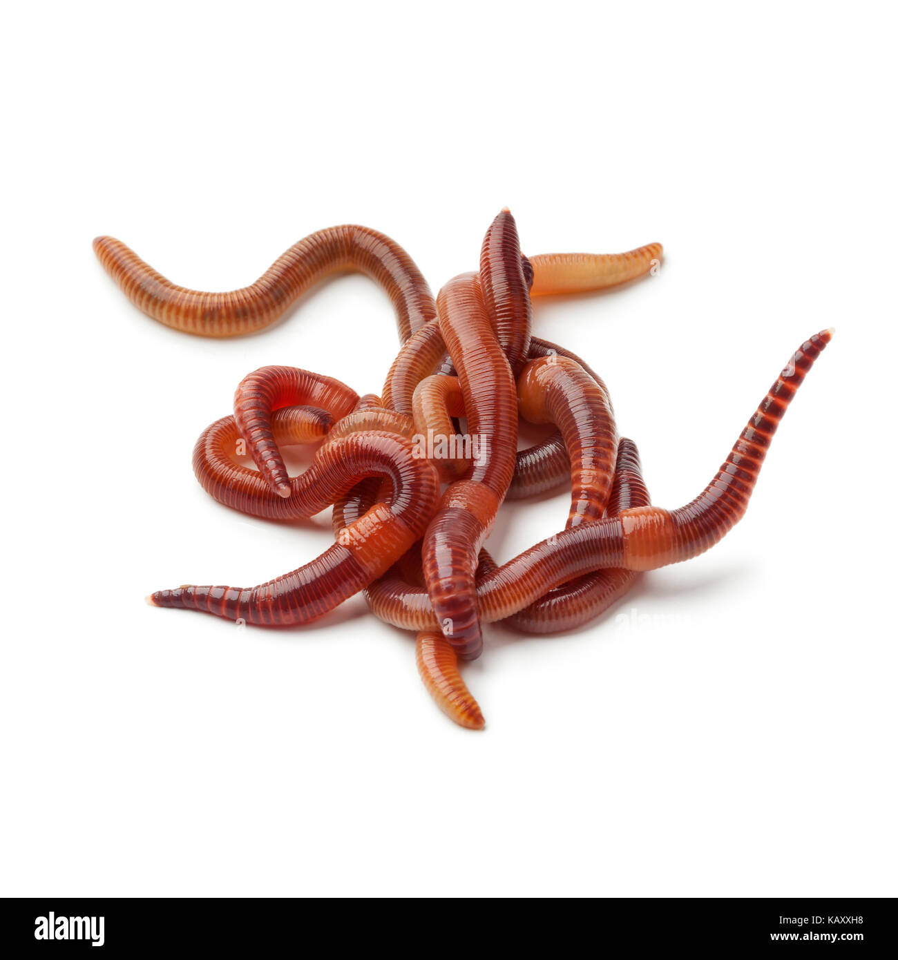 Heap of earthworms on white background - Stock Image