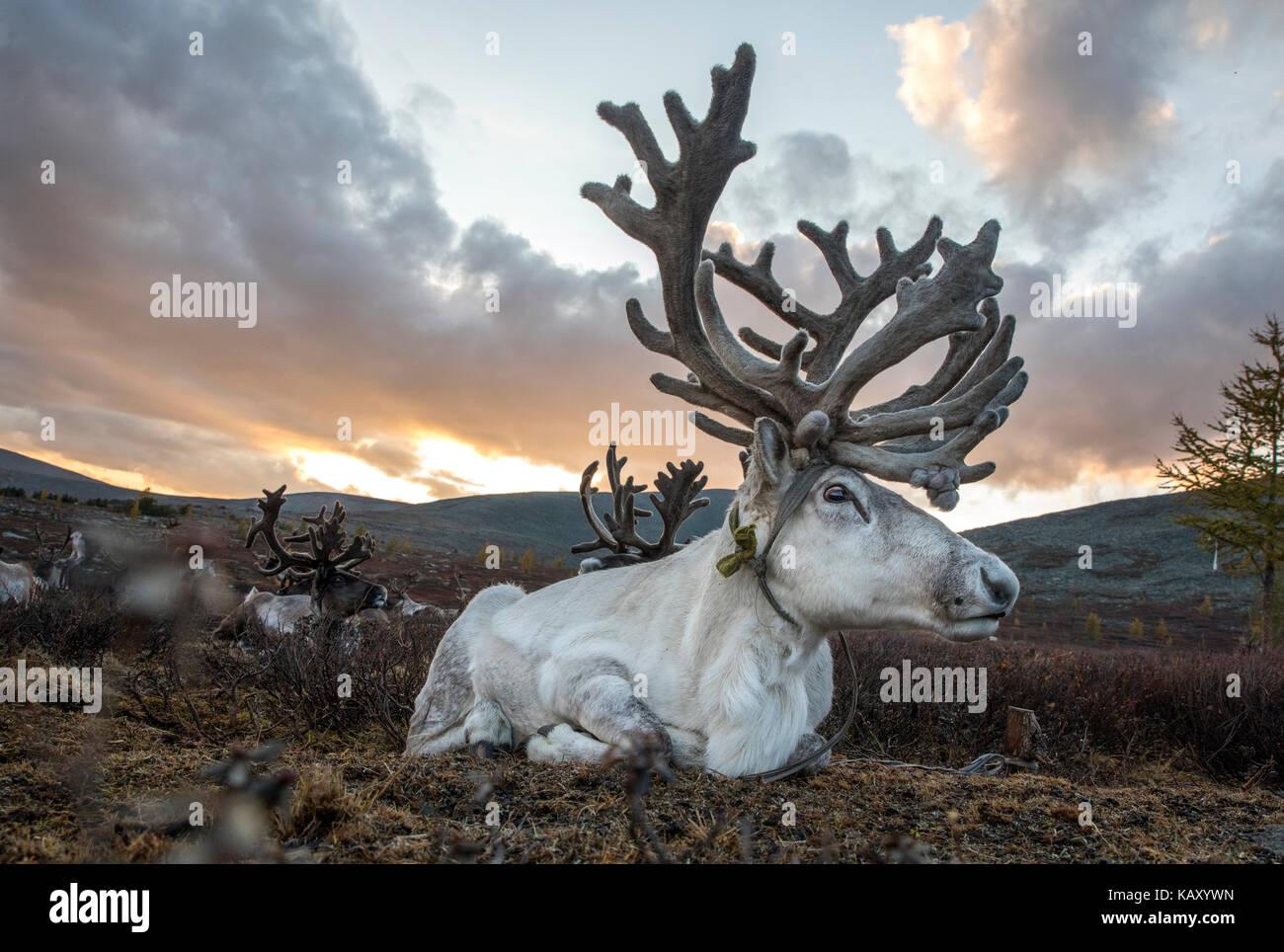 rein deer in northern Mongolia - Stock Image