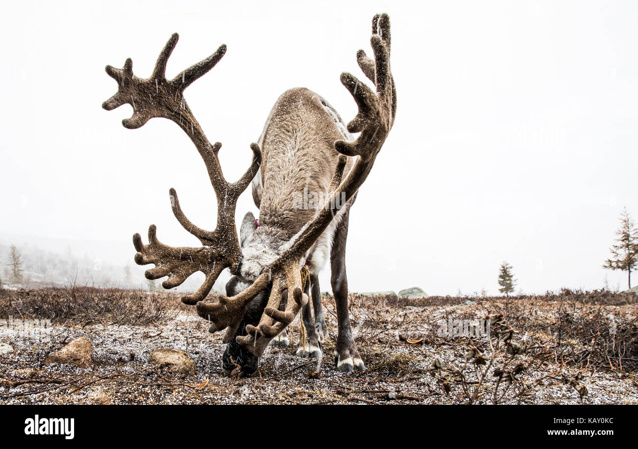 reindeer in a snow in Northern Mongolia - Stock Image