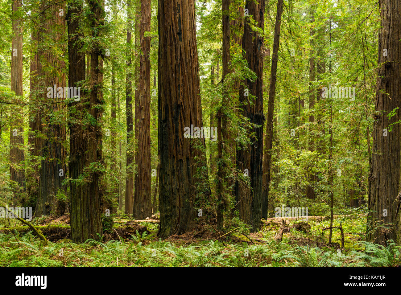 Redwoods along the highway - Stock Image