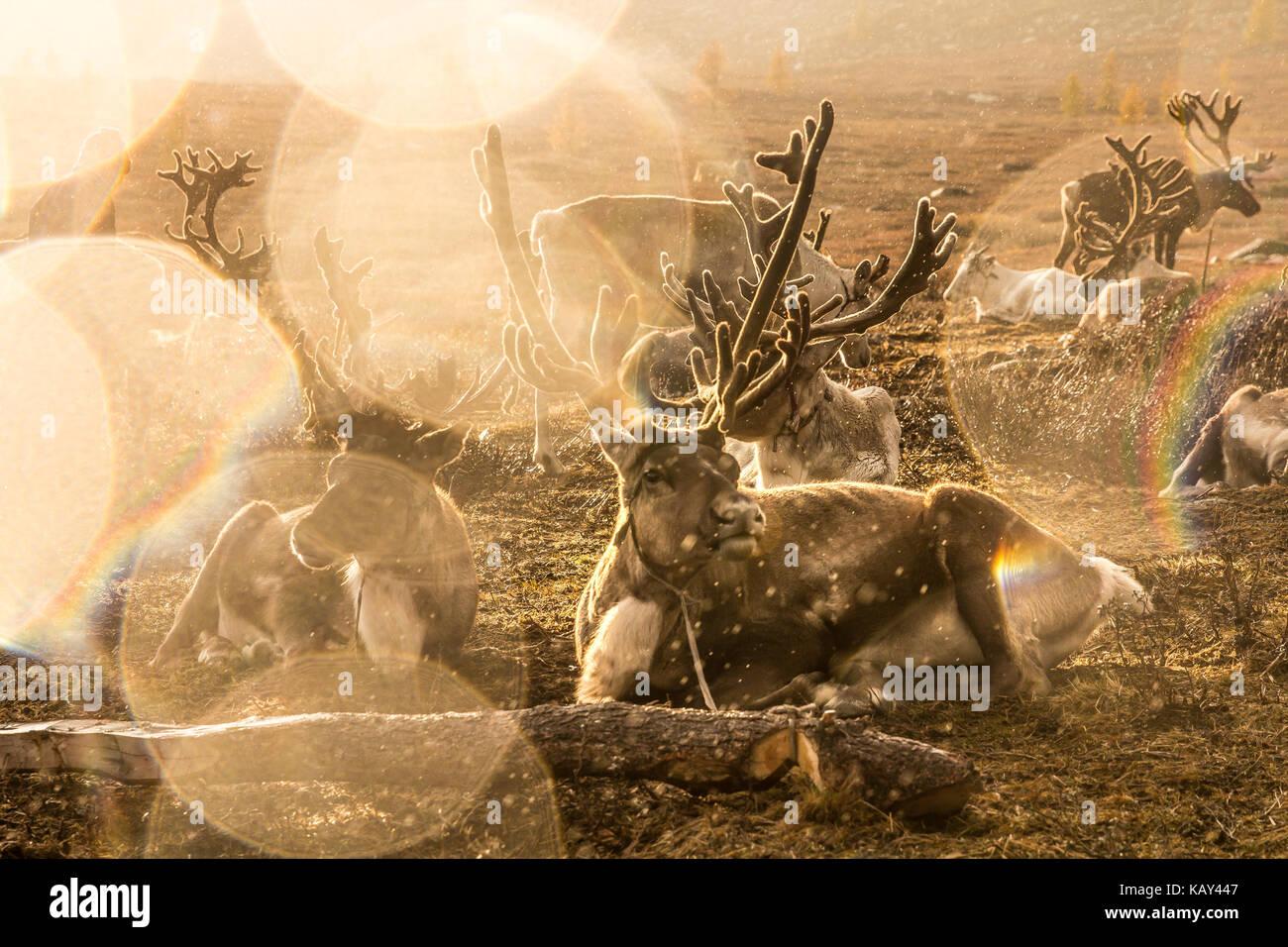 Herd of reindeers captured during a rainstorm through sunglare. Khuvsgol, Mongolia. - Stock Image