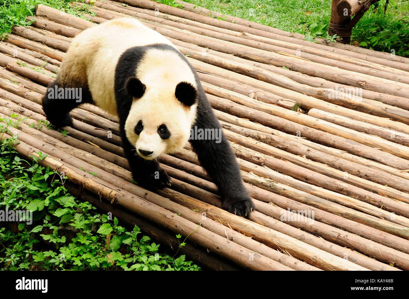 Giant panda at the Chengdu Research Base of Giant Panda Breeding, Chengdu, Sichuan, China - Stock Image